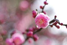 梅うめ Ume blossoms / Japanese apricot