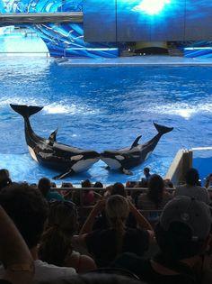 Seaworld Florida Orcas (Kayla and Trua) Orcas Seaworld, Seaworld Orlando, Apex Predator, Killer Whales, Animals Images, Sea World, Animal Rights, Ocean Life, Marine Life