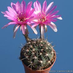 Echinopsis Ancistrophora Cardenasiana Cactus -