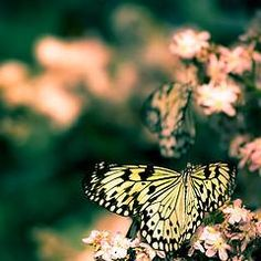 Springtime butterflies and cherry blossoms
