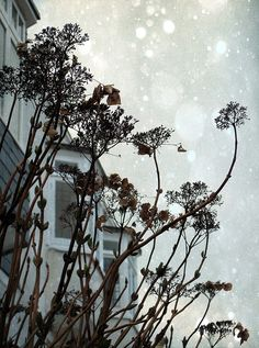 CAROLYN SAXBY - cold enough to snow - cold enough to snow in St. Ives, probably too cold! These lacey seed heads are growing in The Warren. They looked pretty with the cottages behind Carolyn Saxby, Beast From The East, Pretty Beach, Holly Leaf, Through The Window, St Ives, Art Archive, How To Make Tea