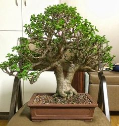 bonsai portulacaria - Google Search