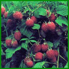 Weichobst aus dem eigenen Garten Ficus, Strawberry, Fruit, Strawberry Tree, Fig Tree, Roots, Harvest, Strawberry Fruit, Fig