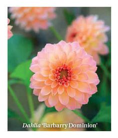 "Dahlia "" Barbarry Dominion"""