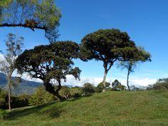 Foto de mi perfil. Árboles en Vereda Suntafita, municipio La Capilla