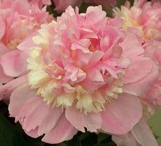 Pale Pink Double Herbaceous Peony / Paeonia lactiflora Eden's Perfume - Kelways