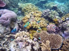 great coral reef: australia