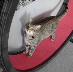 Meet one of our cutest cat, Oscar, on his One Fast Cat Exercise wheel! Cat Exercise Wheel, Unique Cats, Cute Kittens, Sleepy Cat, Funny Cats, Meet, Kitty, Animals, Little Kitty