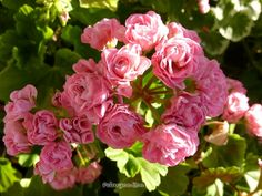 Geranium Australian Pink Rambler