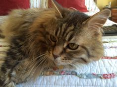 Winter Cheer IV:  Sancho Panza Popik The best 13-year-old Maine Coon Cat in the world.