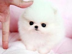 white teacup pomeranian puppy i soooo want one Cute Baby Puppies, Teacup Puppies, Pug Puppies, Yorkie Dogs, Teacup Chihuahua, Pomeranian Puppy For Sale, Cute Pomeranian, Micro Pomeranian, Baby Animals Super Cute