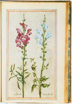 Muflier (antirrhinum), gravure couleur ancienne