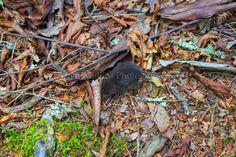 Mole, Alum Cave Trail, Smoky Mountains, Mt LeConte
