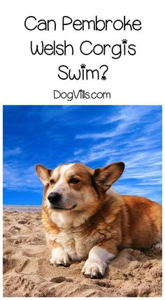 Can Pembroke Welsh Corgis swim? Check out the answer plus our dog training tips to make sure your Corgi stays safe in the water! Corgi Funny, Corgi Dog, Corgi Facts, Dog Friendly Holidays, Dog Weight, Weight Loss, Aggressive Dog, Small Puppies, Pembroke Welsh Corgi