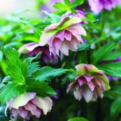 Plant hellebores for distinctive flowers in winter and spring. Flowers are usually shaped like cups or bells, either outward facing or drooping.