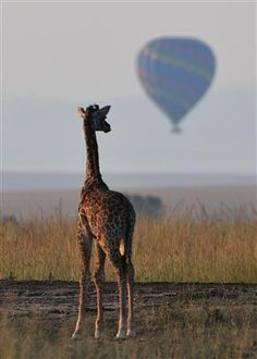 Two of my favorite things! :) Baby Girafe and Hot Air Balloon - Photo Contest - National Wildlife Federation Balloon Rides, Hot Air Balloon, Baby Animals, Cute Animals, Balloons And More, Adventure Is Out There, Photo Contest, Spirit Animal, Beautiful Creatures