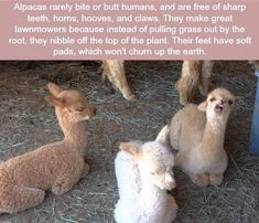 Facts about alpacas - WTF fun facts. I will need some alpacas on my future farm. Farm Animals, Animals And Pets, Funny Animals, Cute Animals, Wtf Fun Facts, Funny Facts, Random Facts, Crazy Facts, Alpacas