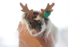 the rat-nosed reindeer ha, perfect for a card greetings :D Rare Animals, Animals And Pets, Strange Animals, Fancy Rat, Cute Rats, Cute Mouse, Pet Cage, Christmas Animals, Guinea Pigs