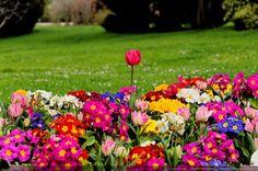 Tulipes et Primevères - une explosion de couleurs printanières - [Le printemps en image]