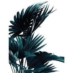 Palm leaves, poster ❤ liked on Polyvore featuring home, home decor, wall art, tree, palm trees, palm leaf poster, palm leaf wall art, tree home decor and tree poster
