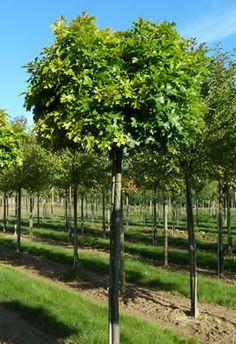quercus palustris green dwarf recherche google jardin pinterest search pots and green. Black Bedroom Furniture Sets. Home Design Ideas