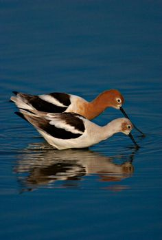 The American Avocet - Tea for Two