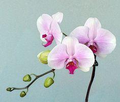Orchid Art digital manipulation of my photograph.