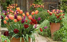 Container gardening: five best plants for summer pots ( click on photo ) - Tulipa 'Jimmy', Burgundy' and 'Uncle Tom' growing in pots in the oast garden at Perch Hill. Photo: Jonathan Buckley