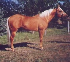 Silver Saddles on Golden Palominos Palamino Horse, Golden Horse, Horse World, Horse Photos, Palomino, Horse Love, Zebras, Beautiful Horses, Equestrian