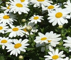 Creeping Daisy, around the light pole? Partial Shade Plants, Front Gardens, Home Garden Plants, Wildflower Seeds, Flowers Perennials, Planting Seeds, Chrysanthemum, My Flower, White Flowers