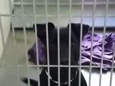 UPDATE: ***REST IN PEACE*** Another black pitty dog statistic WG239 / A3398666  1 YR/ 0.00 MO F BLACK / WHITE PIT BULL/LABRADOR RETR STRAY Intake Date: 12/21/2013 S5 BEH-OTH  At risk for euthanasia at 5am, Thur., Dec 26th.  MCACC 2500 S. 27th Avenue Phoenix, AZ (602-506-2765)