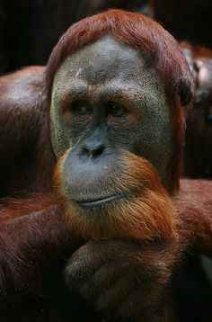 Thinking Orangutan, Singapore Zoo by Raphael Bick