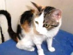 Sookie is an adoptable Calico Cat in Bartonsville, PA. Poor Sookie has had a rough time in her short life. She was put in a shoebox that was duct taped shut and thrown out a car window. Someone saw it...