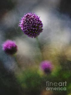 Onion Cousin - photograph by Lee Craig. Fine art prints and posters for sale. #leecraig #floralphotography #fineartphotography