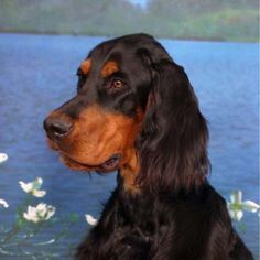 GORDON SETTER - hush, I'm trying to hear the teacher.