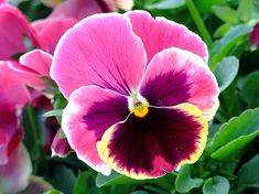 Pansy (Viola x wittrockiana) - pansy cultivar - annual; Blooms April to June, Cool season plant not harmed by frost; flowers have 5 petals, Full sun to part shade - Susceptible to fungal leaf disease. Watch for slugs.  Prefers humusy, consistently moist, well-drained soils.