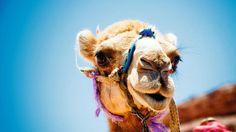 Tunisian Camel