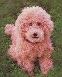 Sweet Apricot Poodle Crochet Pattern