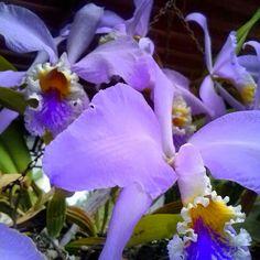 La orquídea, flor nacional de Venezuela