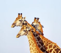 A chord of three strands is not easily broken. Nor is a brotherhood of giraffe. Im beginning to itch for the bush - thankfully I already have some lovely game reserves lined up to feature this year. African Giraffe, Game Reserve, Strands, Animals, Instagram, Animales, Animaux, Animais, Animal
