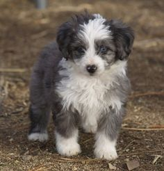 Isn't this the cutest puppy you've ever seen? It's called an Aussie Doodle. I want a cute little puppy that looks just like this. I don't think I can have one in my apartment though, so it's a slight problem.  http://www.pecanplacepoodlesandpoos.com