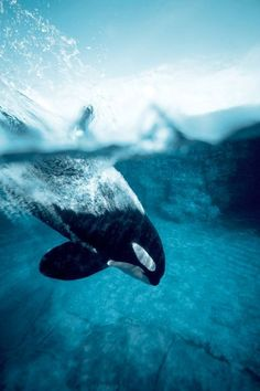 orca whale diving into ocean Beautiful Creatures, Animals Beautiful, Cute Animals, Orcas, Ocean Creatures, Mundo Animal, Killer Whales, Sea World, Marine Life