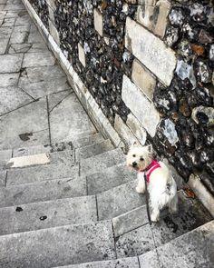 #harrow #westie #westiegram #westiesofinstagram #westielove #westhighlandwhiteterrier #dog#dogwalking #instadogs  #dogsofinstagram #london #instadog #puppy #walkies #dogwalkinglife #walkiestime #dogstagram #harrow #instapet #dogs #dogscorner #happydog #instagramdogs #pet #weeklyfluff #adorable_animals #doglover #London #nwlondon#instalondon #how2where2whyautomatically uploaded from Instagram