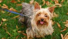 The Yorkie Ton, very much like the Yorkie Bichon and the Yorkie Russell is a designer dog obtained by crossing Coton de Tulear and the Yorkshire terrier. Toy Dog Breeds, Terrier Dog Breeds, Big Dogs, Small Dogs, Cute Dogs, Chien Yorkshire Terrier, Miniature Dog Breeds, Yorkie Haircuts, Dog Pee