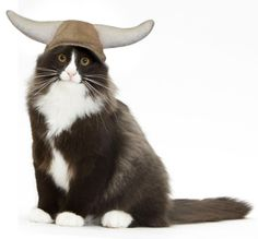 NORWAY:  Norwegian Forest cat- Viking; Oh my crap... @Henny Beckner , Snarf is getting one somehow, someway!!!!!!
