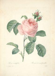 gravures de fleurs par Redoute - Gravures de fleurs par Redoute 090 rosa…
