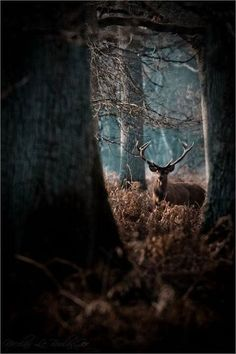 deer buck in woods kronhjort