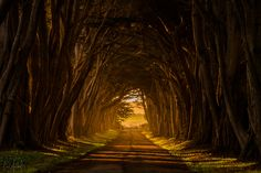 Cypress Tunnel - Cypress Tunnel in Point Reyes