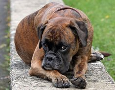 American Boxer Dog | dogs wallpapers