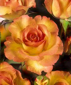 Sub Zero Helen Hayes Garden Rose
